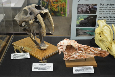 Gallimimus and Smilodon skulls and hadrosaur tooth