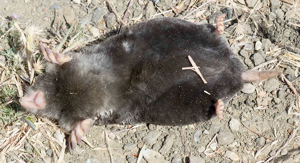 Another dead mole on the trail.