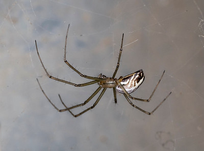 Linyphiid hangs from its web