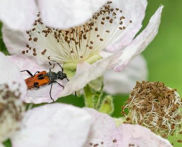 Desmocerus, Elderberry Longhorn Beetle
