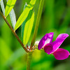 Vicia sativa , spring vetch