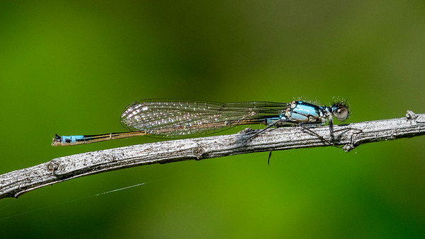 Probable Pacific Forktail,  Ischnura cervula