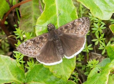 This is a duskywing skipper in the genus Erynnis.