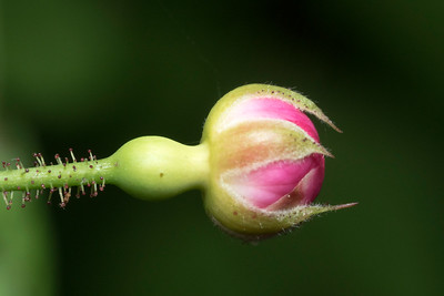 Flower bud on wild rose