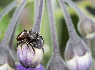 Jumping spider on closed blossom of blue witch