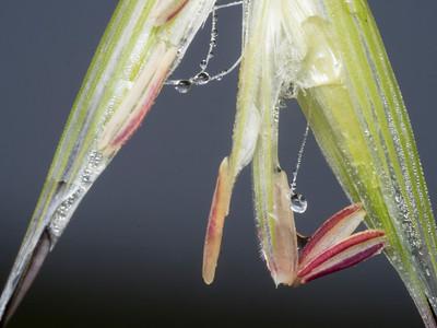 Wild oats (Avena)