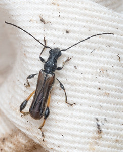 Callimoxys, a long-horned beetle (cerambycid)