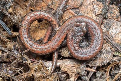 An infinite slender salamander