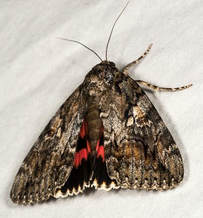 Moth Week 2014:  Monte Bello Blacklighting