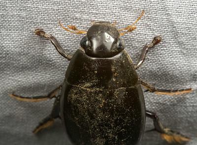 Hydrophilid (Water Scavenger Beetle)