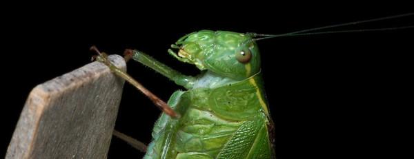 Katydid (male)