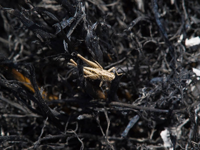 About half an hour after the fire went through one place, I noticed this grasshopper moving around.  Don't know whether it survived the fire or moved in from an unburned area (maybe 25 yards, away).