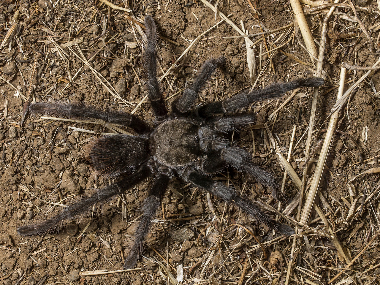 Tarantula (and a very nice one at that, not bedraggled as you often see them) seen on a night hike at Russian Ridge OSP.
