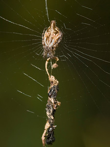 An Araneid orb weaver, Cyclosa sp., by its stabilimentum.