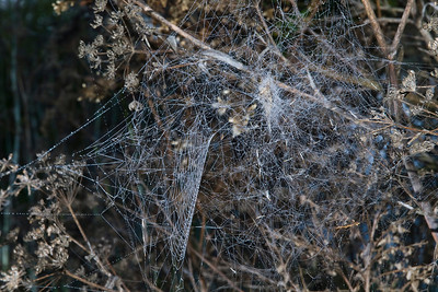 Composite web (cob and orb) of Labyrinth Spider (Metepeira sp.), viewed from side.  Note signal line leading from center of orb to retreat.