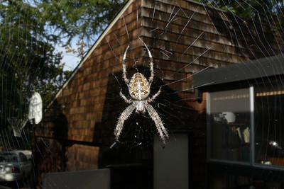 Araneus diadematus on my patio.