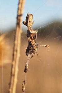 Labyrinth spider (Metepeira) at Los Trancos OSP
