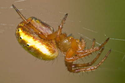 Araniella displicata (six-spotted orb weaver, in spite of the the eight spots), side view