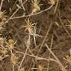 Banded Garden Spider (Argiope trifasciata), night hike at Monte Bello OSP.