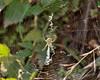 Argiope trifasciata, Banded Garden Spider.  Windy Hill OSP.