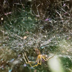 Dome Spider, Neriene sp., Long Ridge OSP.