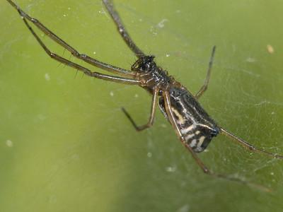 Frontinella communis (boil & doily spider)