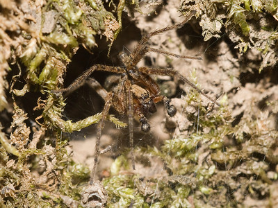 Spider (male) lurking at mouth of its burrow at night.  Probably an Agelenid.