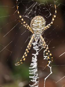 Banded Garden Spider, Argiope trifasciata.  Windy Hill OSP.