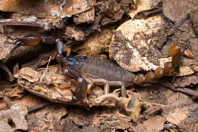 Forest scorpion (Uroctonus mordax) from under log on Nature Trail at Monte Bello OSP.