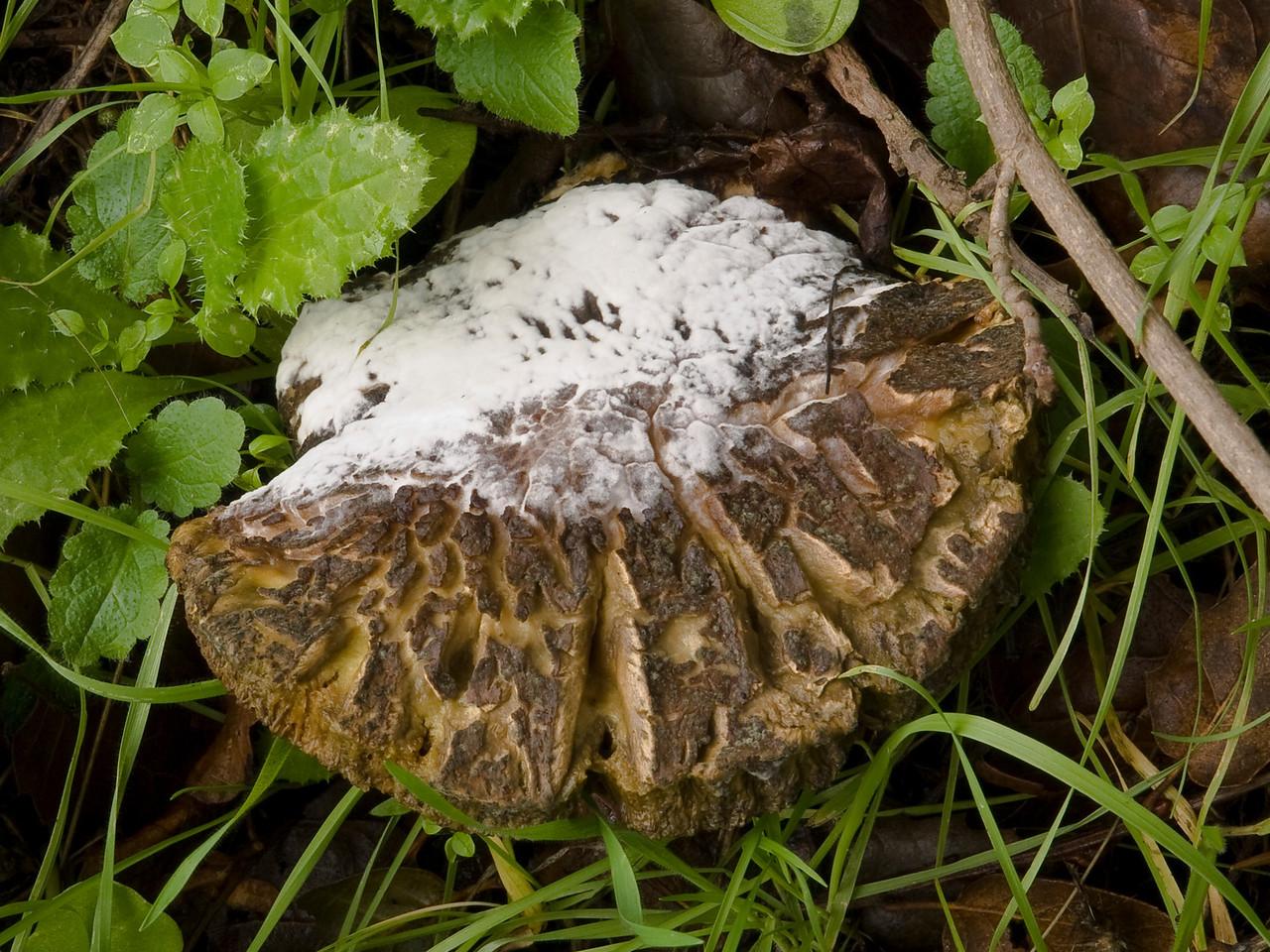 Hypomyces parasite on a mushroom