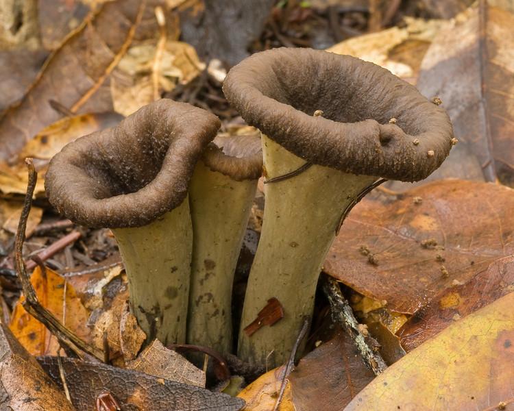 Craterellus (probably cornucopioides, horn of plenty) at Monte Bello OSP