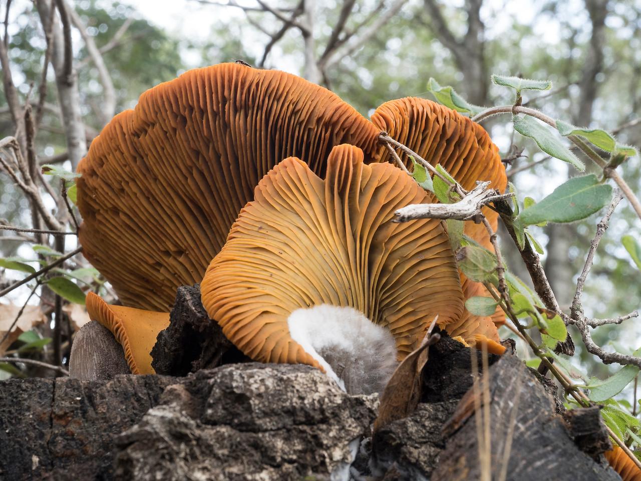 Omphalotus olivascens, western jack-o-lantern mushroom