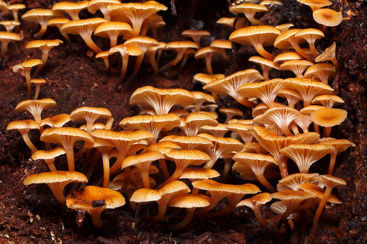 A nice array of mushrooms on a log.  Maybe Xeromphalina campanella.  Monte Bello OSP.