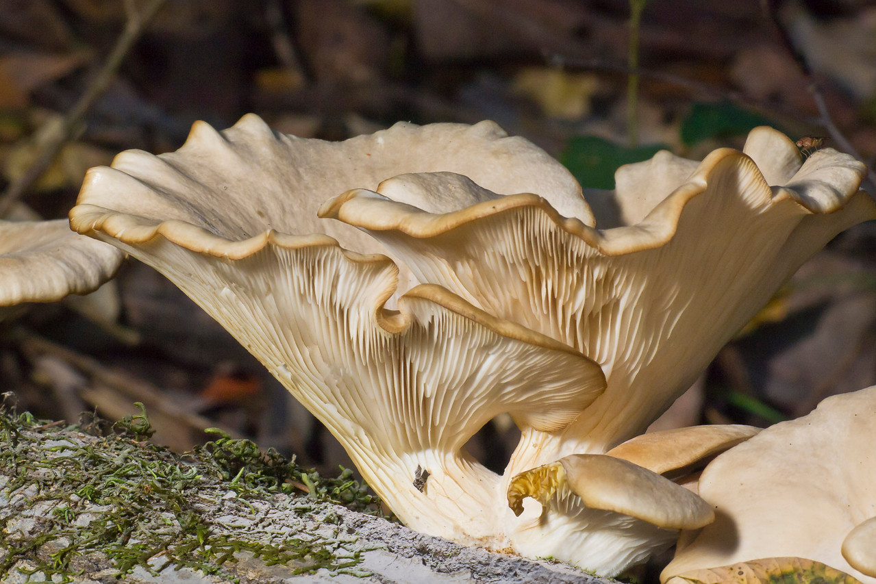 Oyster mushroom (Pleurotus sp.).     There were lots of these fruiting today (25 October).  Monte Bello OSP.