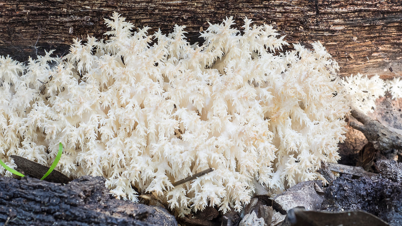 Probably Bear's-head fungus, Hericium abietis.