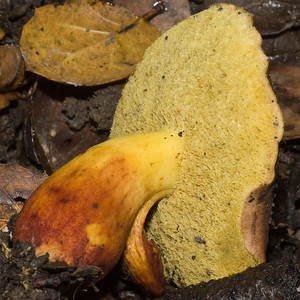A bolete that was uprooted by the Mushroom Stompers.