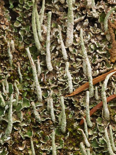 Cladonia sp. on Hawk Trail, Russian Ridge OSP.
