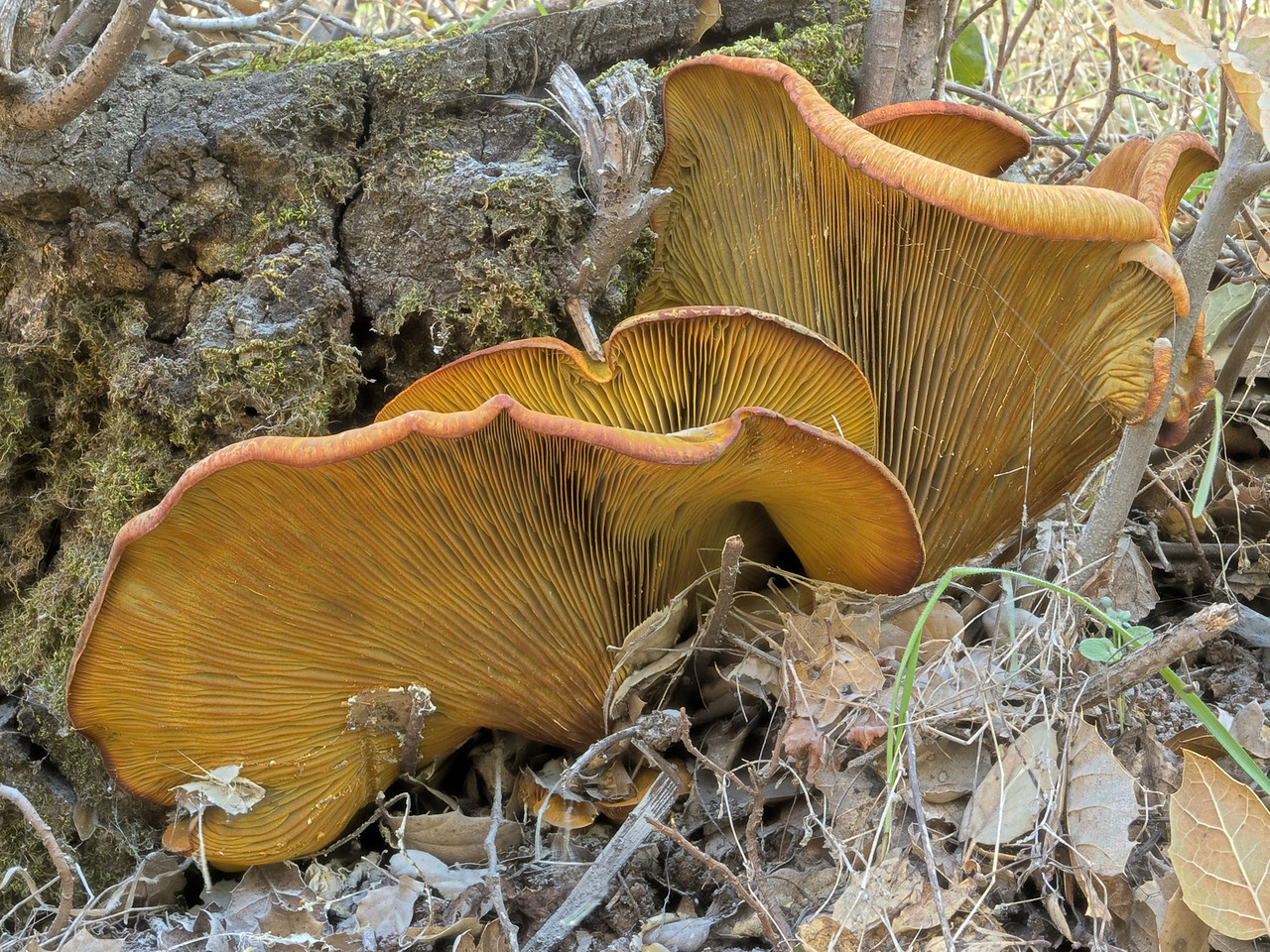 Omphalotus olivascens, the Jack O'Lantern mushroom