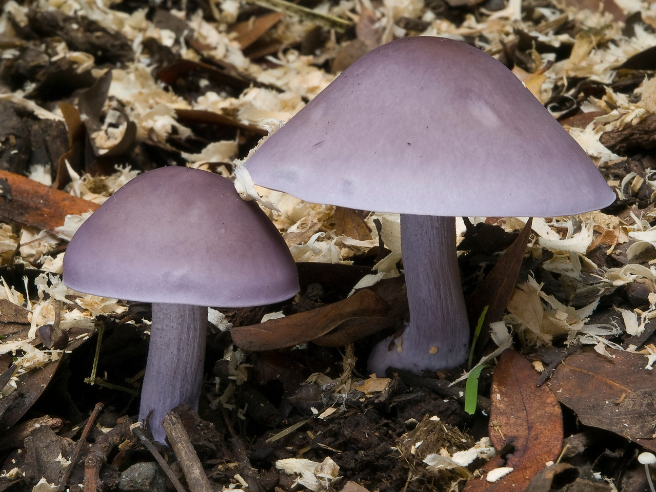 Cortinarius?  Clitocybe nuda (blewit)?