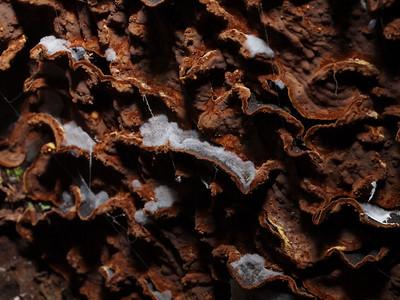 Mold (?) on a polypore (Stereum sp.?) in Monte Bello OSP.