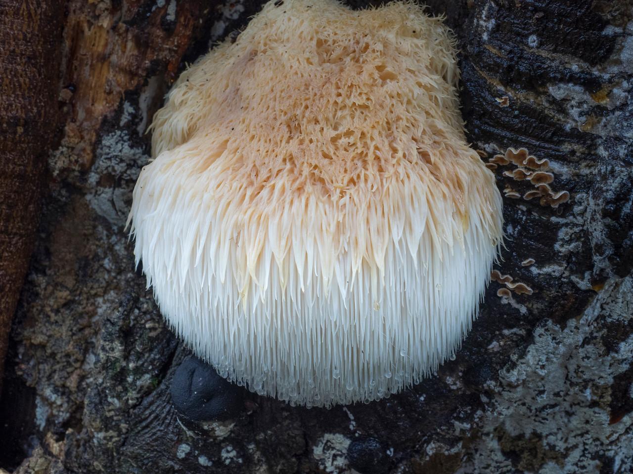 Lion's mane fungus, Hericium erinaceus