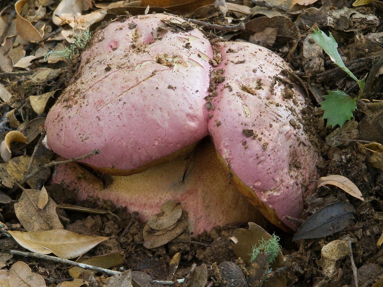 """Lots of these boletes at Lost Trancos OSP in hardwood forest Nov. 09.  I think this is B. regius, the red-capped butter bolete.  The pores are very narrow--spongy even--and are yellow, bruising blue.  Cap diameters were usually 4-6""""."""