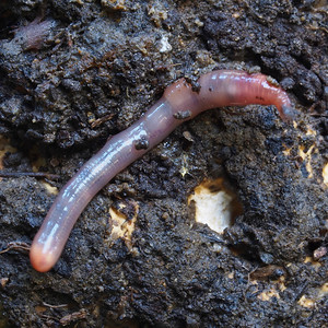 Earthworm from under a downed log at Russian Ridge OSP.