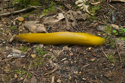 Banana slug in high gear