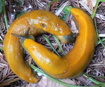 Banana slugs mating.  Purisima OSP.