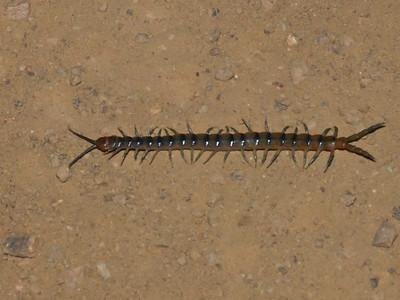 Centipede on Monte Bello night hike.