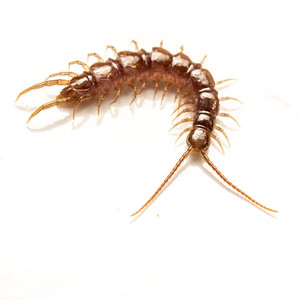 Centipede from detritus, HFOV = 12.2 mm