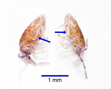 Two views of same springtail from detritus.  Note fircula (arrows).  The critter was playing possum.