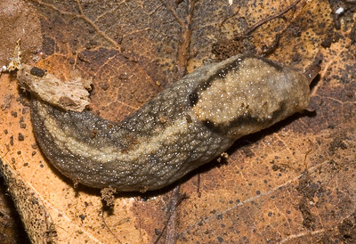 Little (~20 mm) slug from under a log at Los Trancos OSP.  Maybe Arion.