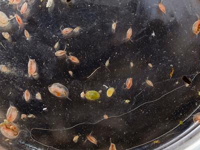 Vernal-pool crustaceans (from Lake Lagunita at Stanford).